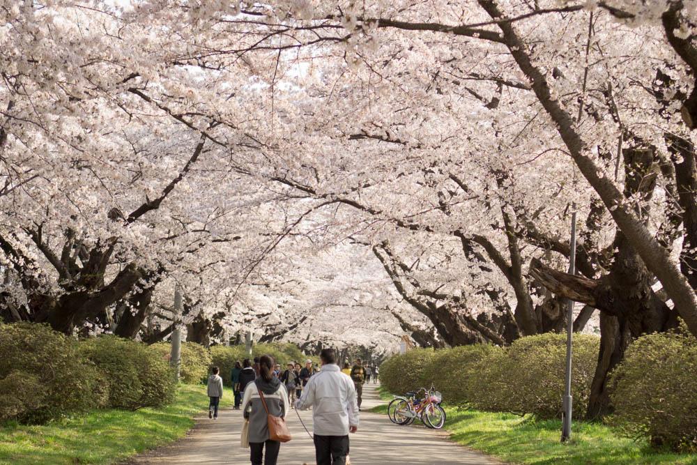 桜祭り間近!北上展勝地 2016年桜開花予想と去年の様子とその周辺