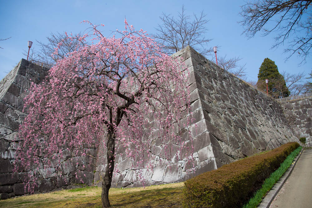 盛岡城跡公園 桜開花まであとちょっと 「さくらまつり」もはじまります