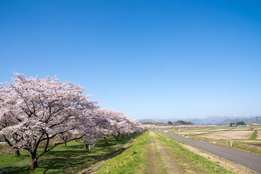 桜満開の雫石川園地で見つけた小さな春