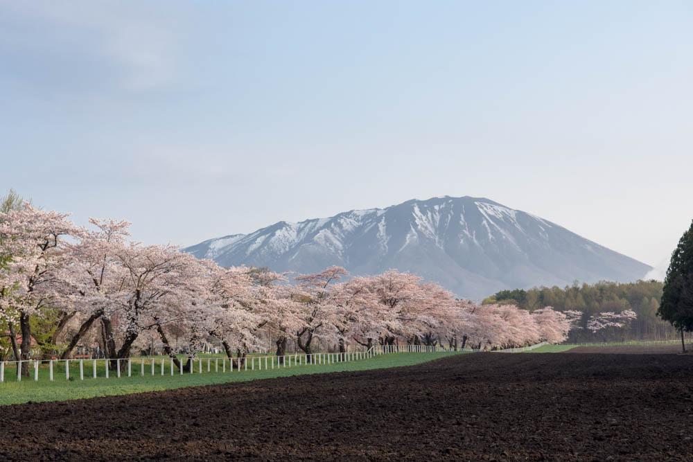 【続】小岩井農場 一本桜の開花状況と周辺の桜