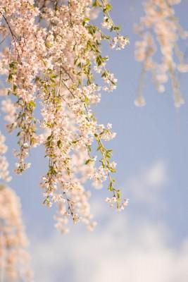 角館 枝垂桜
