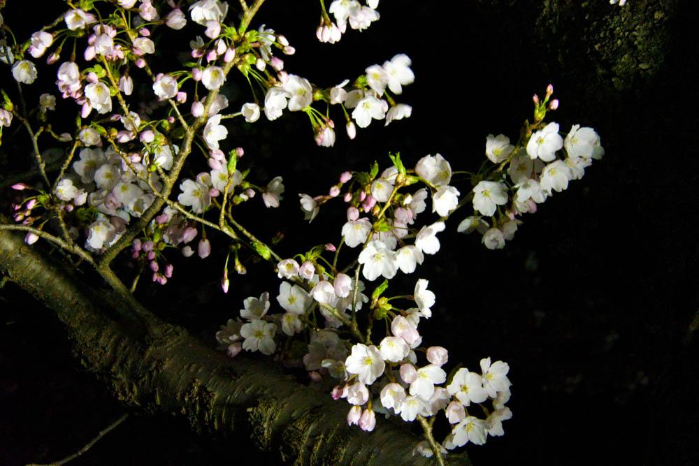 2016北上展勝地 桜開花情報 4.15の夜の様子