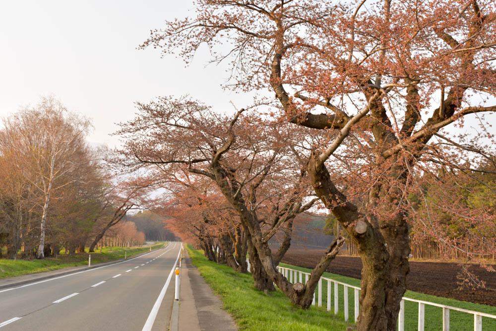 4.22 小岩井一本桜の今の様子とその周編