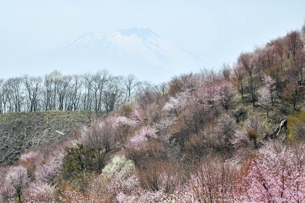 「サクラパーク姫神」近い将来東北を代表する桜の名所になる予感