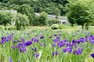7月見頃の錦秋湖川尻総合公園「あやめ園」