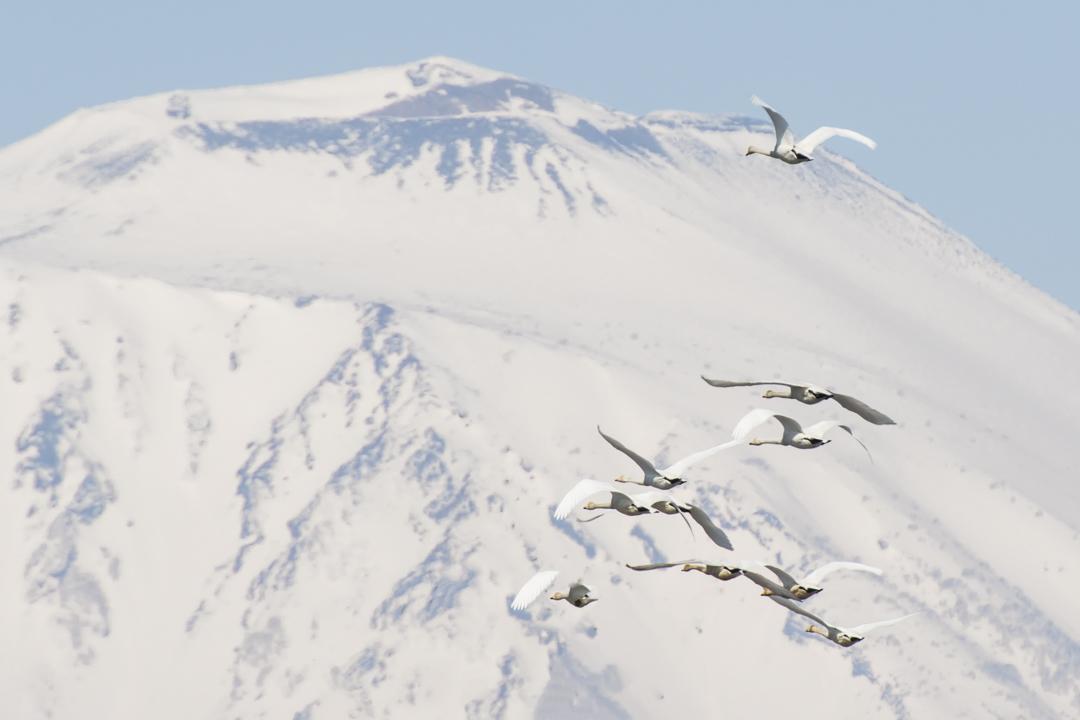 岩手山と白鳥